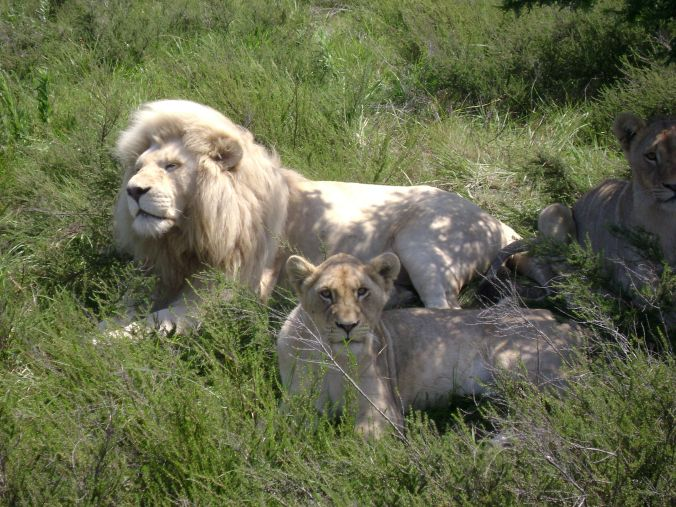 White lions at Inkenkwezi private park... Such an amazing creature and to see them so close was magical
