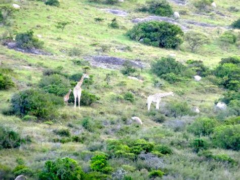 A family of giraffes.